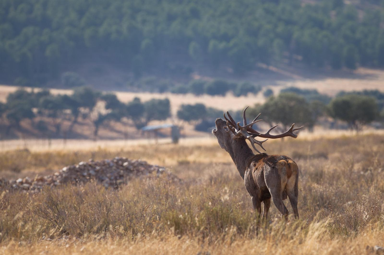 Muflon en pleno hábitat